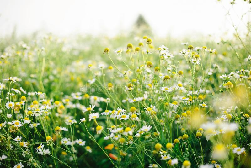 Chamomile rumianku łąka fotografia stock