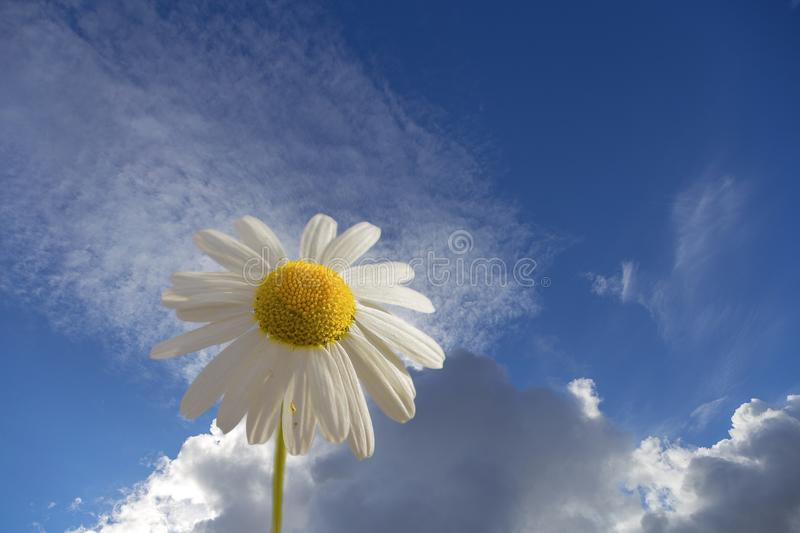Chamomile. A single flower against a blue sky and Cumulus clouds. stock photos