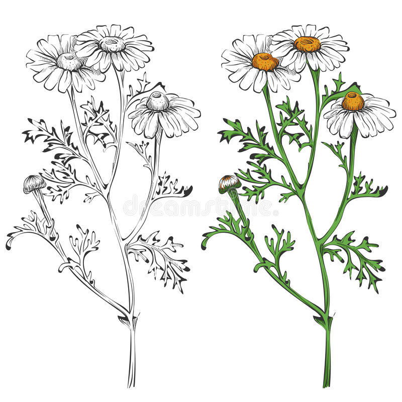 Chamomile sylwetka i kolorowy odosobniony na białym tle ilustracji