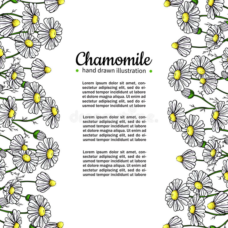 Chamomile vector drawing frame. Isolated daisy wild flower and leaves. Herbal artistic style illustration. vector illustration