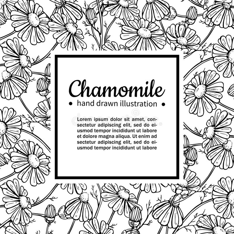 Chamomile vector drawing frame. Isolated daisy wild flower and leaves. Herbal engraved style illustration. Detailed botanical sketch for tea, organic cosmetic royalty free illustration