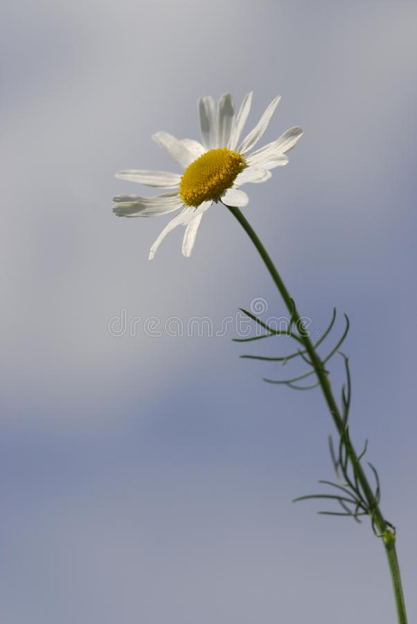 Chamomile white flower with a yellow core on long stem stretches download chamomile white flower with a yellow core on long stem stretches to the mightylinksfo