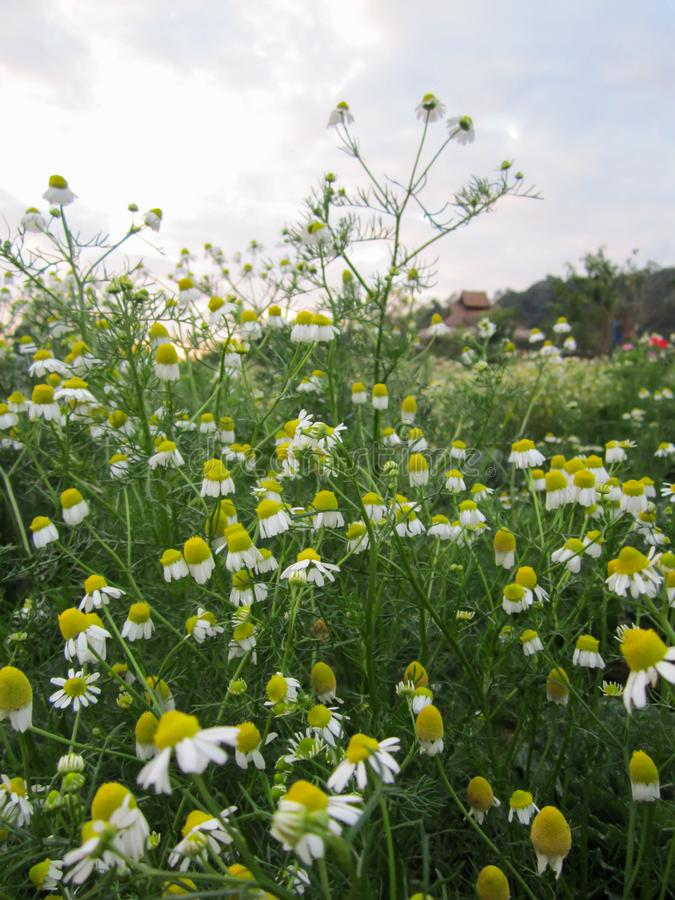 Chamomile white yellow flower in meadow flied against bright blue sky. royalty free stock image