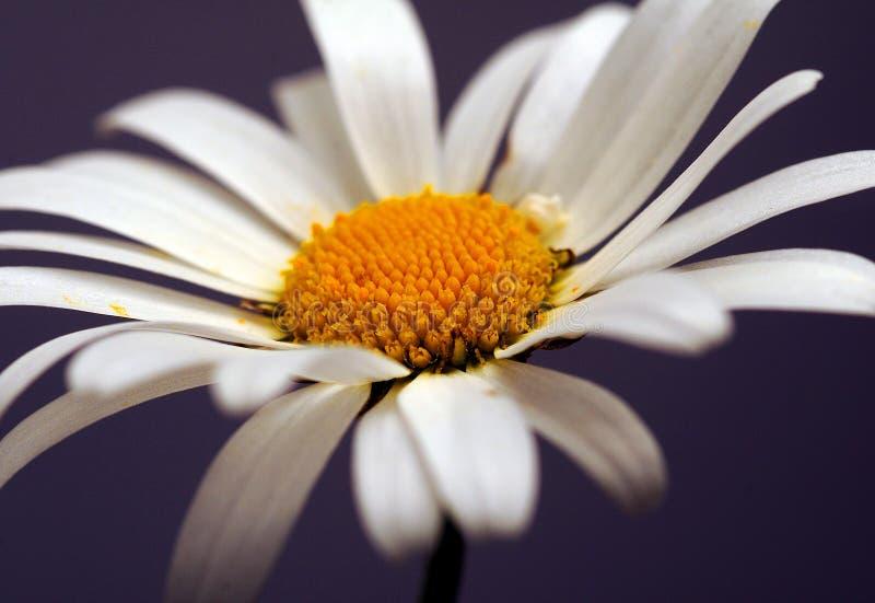 chamomile zbliżenia dof kwiatu macro płycizny strzał zdjęcia stock