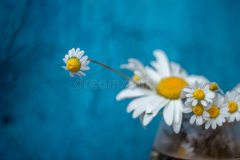 chamomile zbliżenia dof kwiatu macro płycizny strzał zdjęcie stock