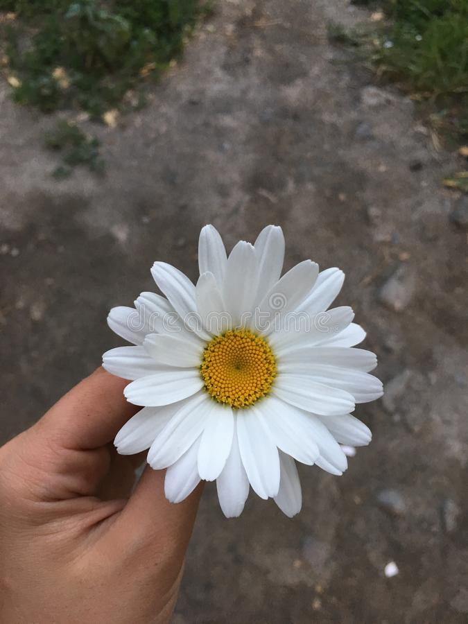 chamomile zbliżenia dof kwiatu macro płycizny strzał zdjęcia royalty free