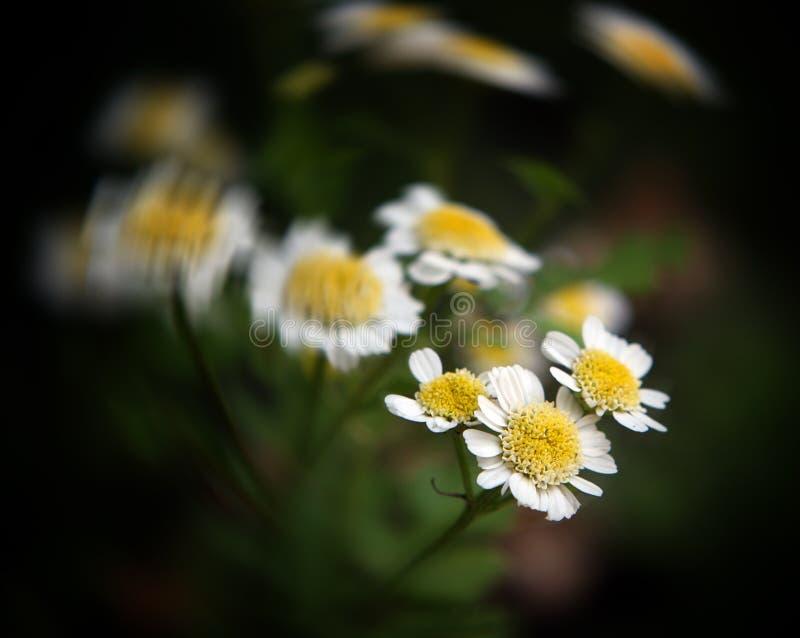 chamomileblommor arkivbild