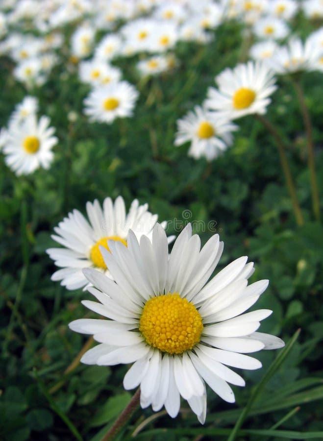 chamomilefält royaltyfri fotografi