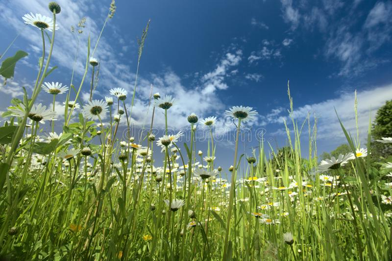 Download Chamomiles stock image. Image of green, flower, grass - 14600019