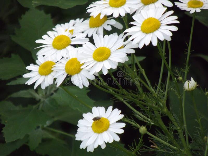chamomiles royalty-vrije stock fotografie