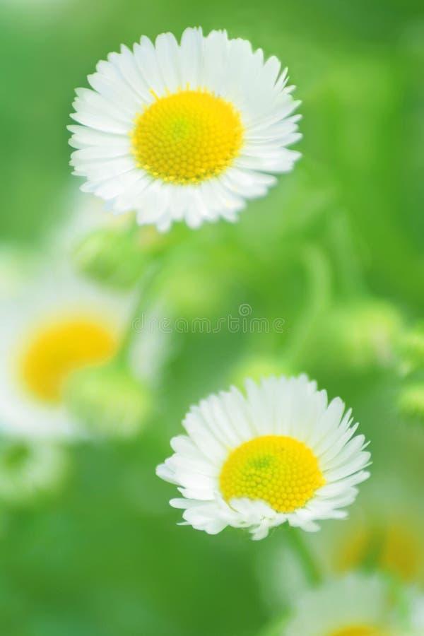 chamomiles στοκ εικόνα με δικαίωμα ελεύθερης χρήσης