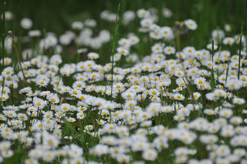 chamomiles στοκ εικόνες