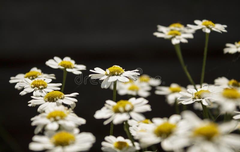 Chamomiles closeup on soft focus. Flowering chamomile - macro shot floral background. stock image