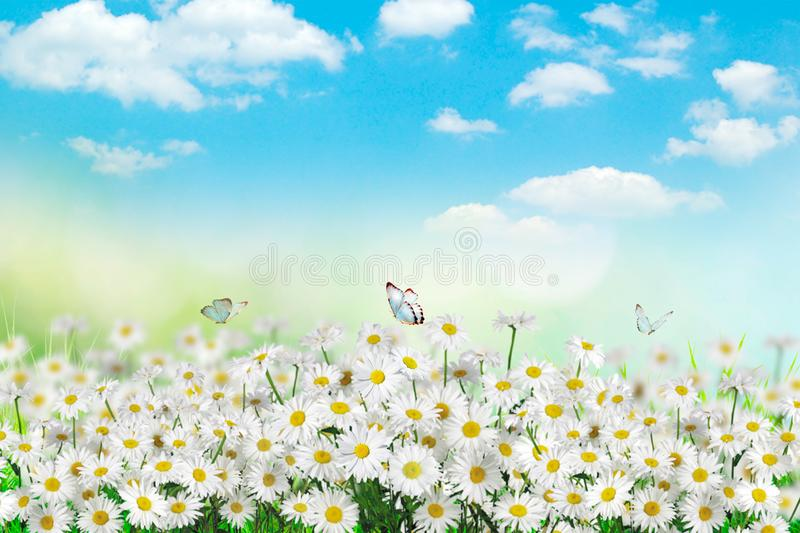 Chamomiles daisies macro in summer spring field on background blue sky with sunshine and a flying butterfly, nature panoramic view. Summer natural landscape royalty free stock photo