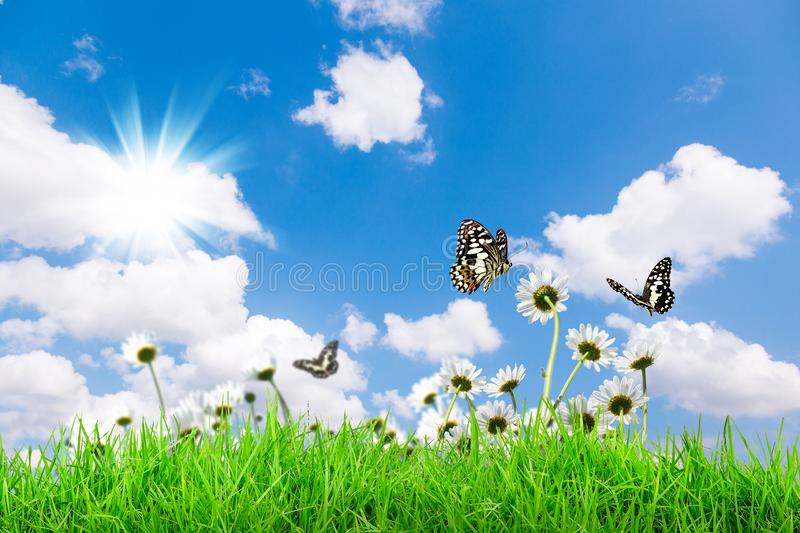 Chamomiles daisies macro in summer spring field on background blue sky with sunshine and a flying butterfly royalty free stock photo