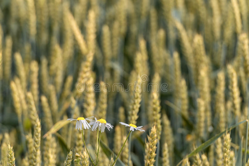 The Chamomiles in Field of Wheat. stock image