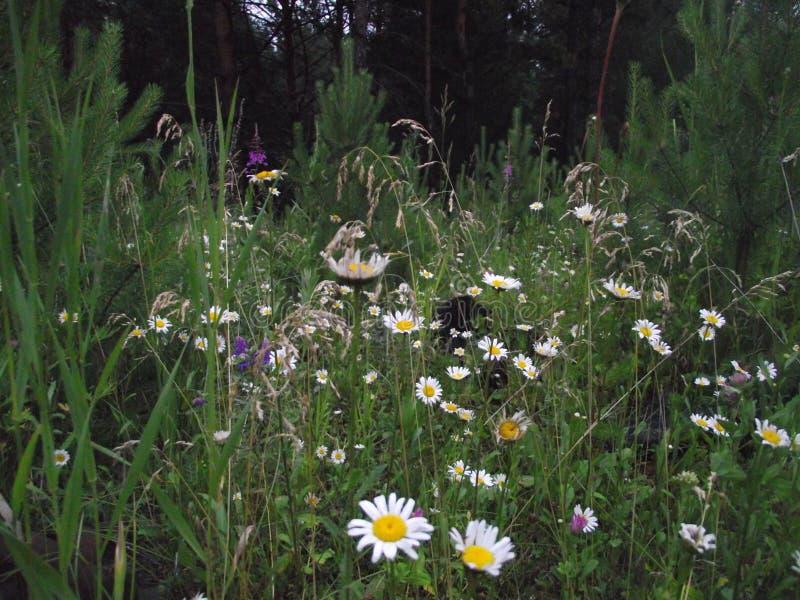 chamomiles Fleurs de champ photo libre de droits