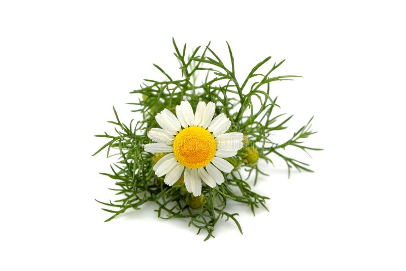 Chamomiles, matricaria kwiatu odosobniony zbliżenie obrazy stock