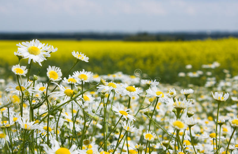 Download Chamomiles In The Rapeseed Field Stock Photo - Image: 22464564