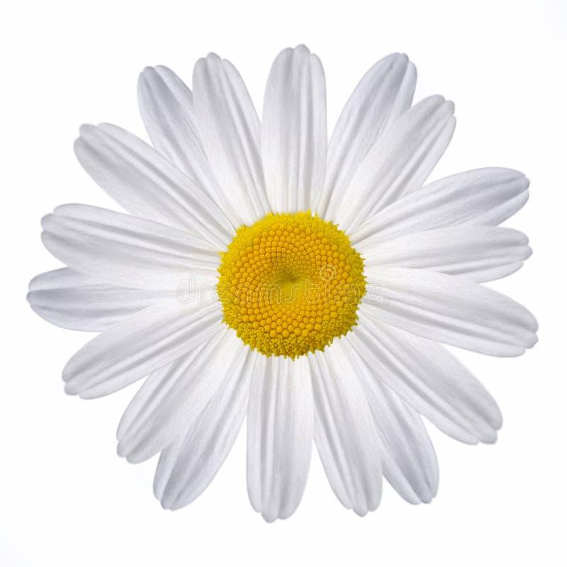 chamomilewhite arkivfoto