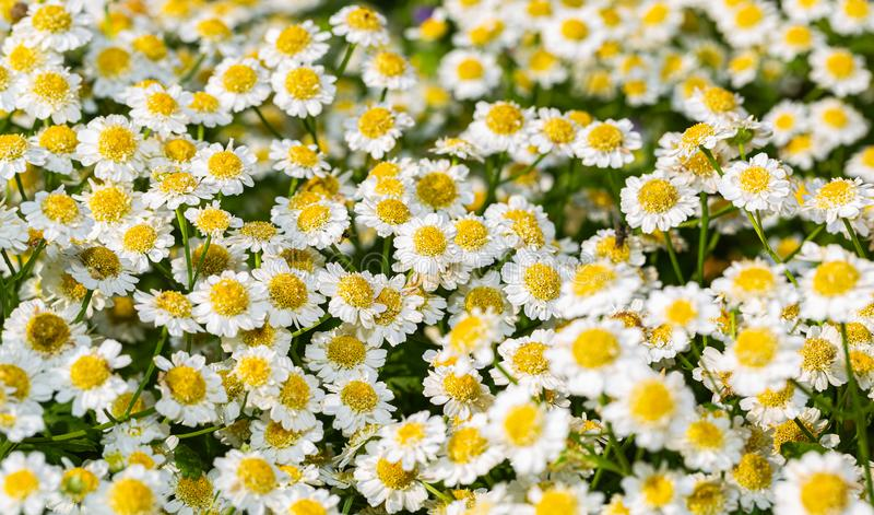 Chamomille pharmaceutique à petites fleurs sur lit à fleurs image libre de droits