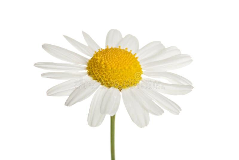Chamomole Blume getrennt stockbilder