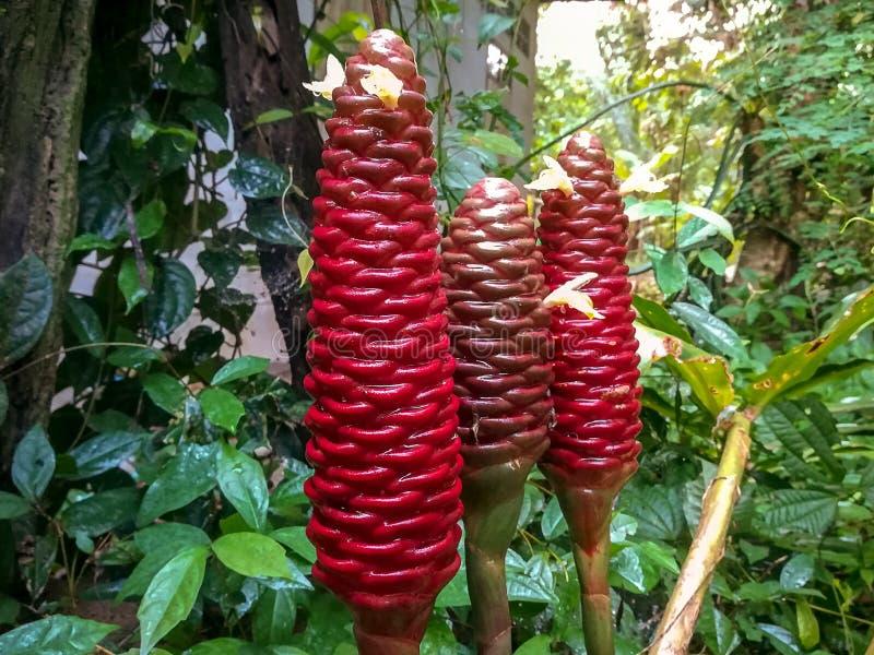 Champô Ginger Plant imagem de stock