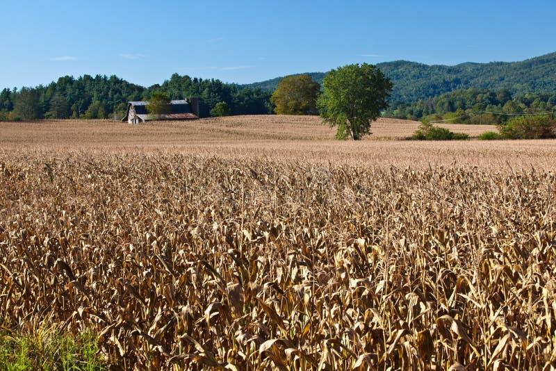 Champ énorme des tiges sèches de maïs image stock