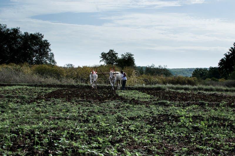 Champ agricole et de labourage avec des boeufs photo stock