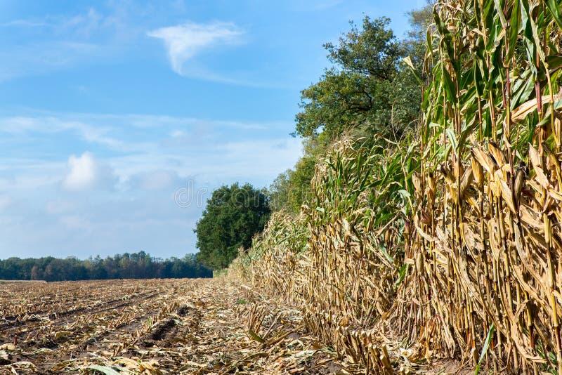 Champ avec des chaumes et des usines de maïs photos libres de droits