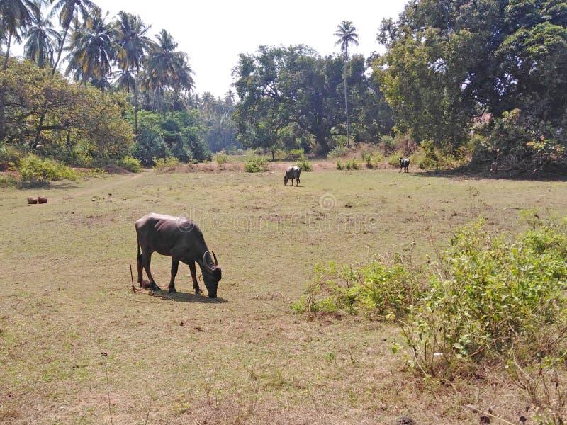 Champ avec des vaches dans Goa, Inde photo stock