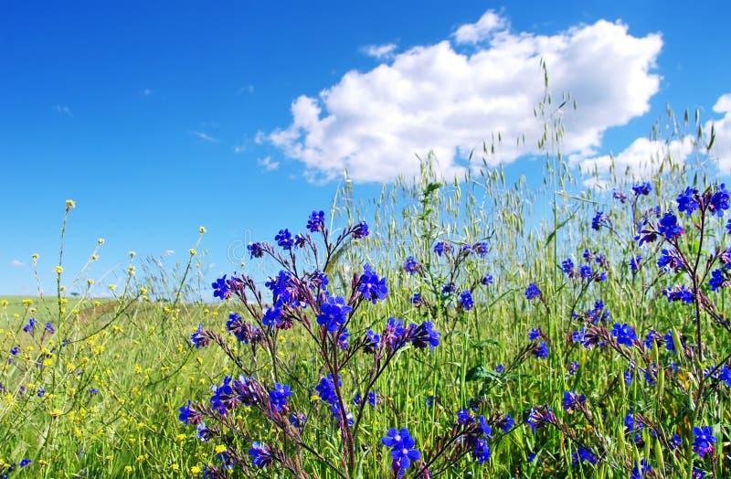 Download Champ Avec Les Fleurs Bleues Sauvages Photo stock , Image du  ferme, blanc