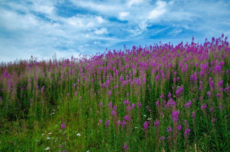 Champ avec les fleurs et le ciel bleu images libres de droits