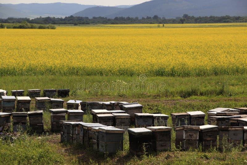 Champ, boîte et abeilles de viol photos libres de droits