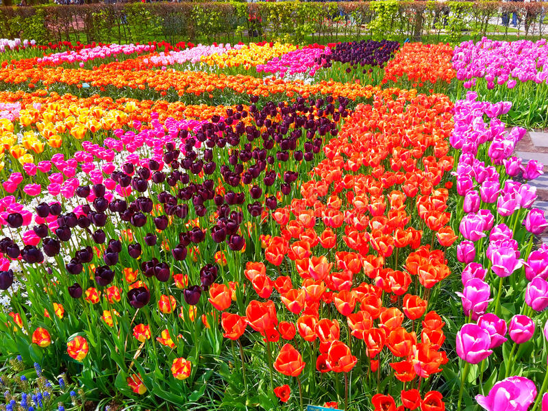 Champ coloré de tulipe dans Keukenhof photo libre de droits
