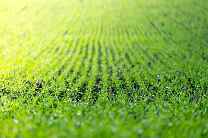Champ d'agriculture avec, plantes vertes fraîches fertiles image libre de droits