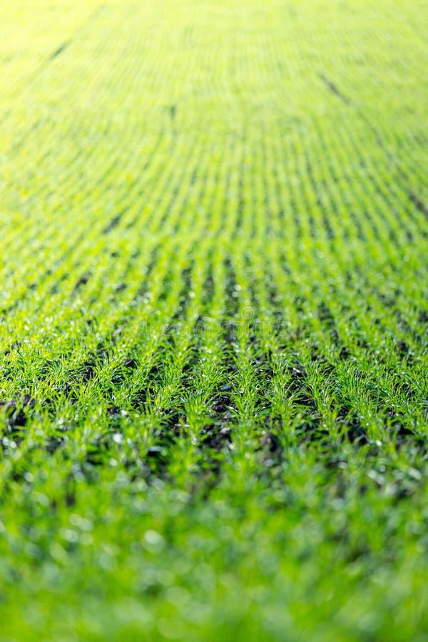 Champ d'agriculture avec, plantes vertes fraîches fertiles photos stock
