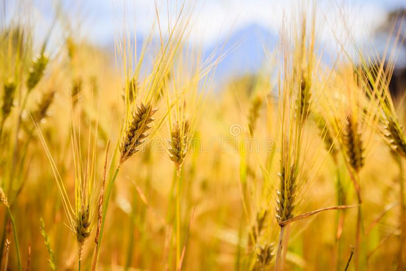Champ d'agriculture : Oreilles mûres de blé, récolte photo libre de droits