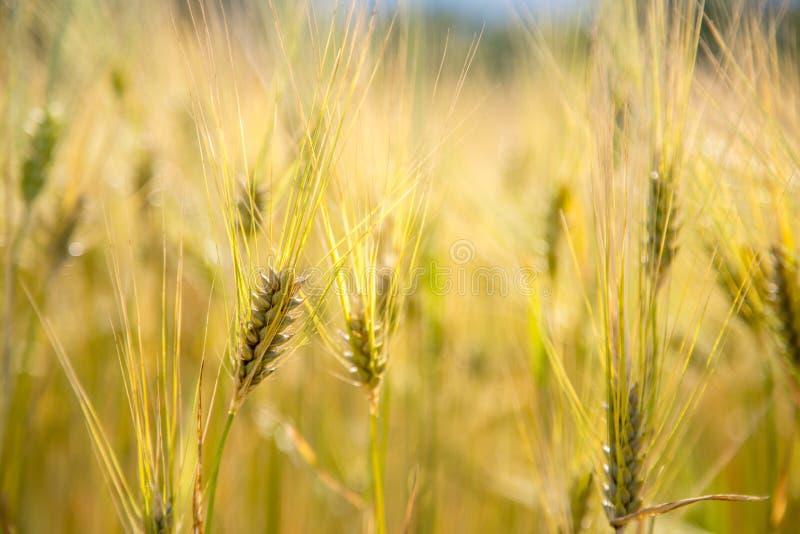 Champ d'agriculture : Oreilles mûres de blé, récolte photo stock
