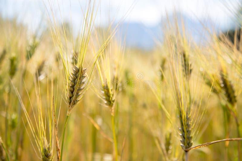 Champ d'agriculture : Oreilles mûres de blé, récolte photographie stock