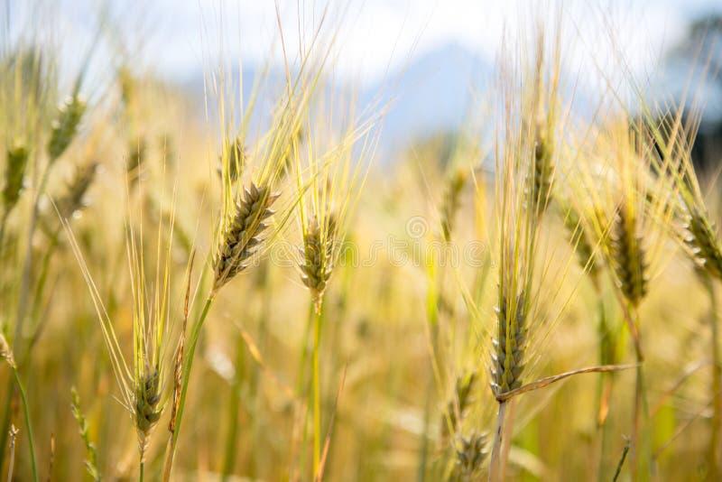 Champ d'agriculture : Oreilles mûres de blé, récolte images stock