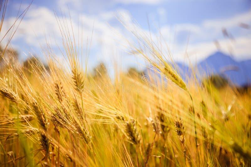 Champ d'agriculture : Oreilles mûres de blé, récolte photos stock