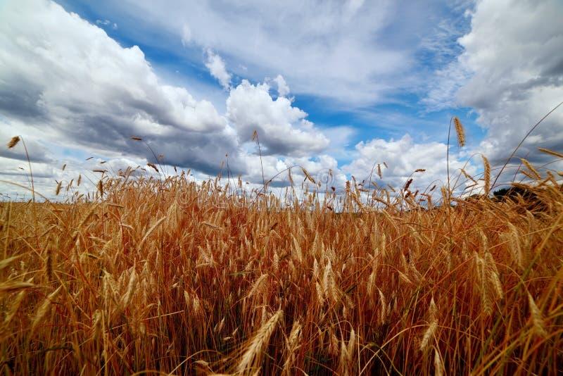 Champ d'or avec des oreilles des cultures de grain et d'un beau ciel dans les nuages images stock