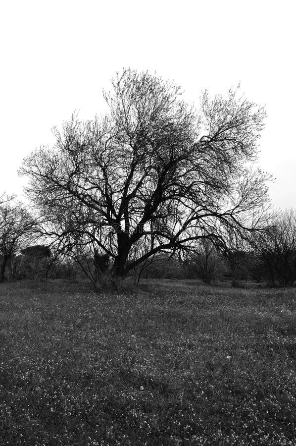 Champ d'herbe d'arbre d'amande photos stock