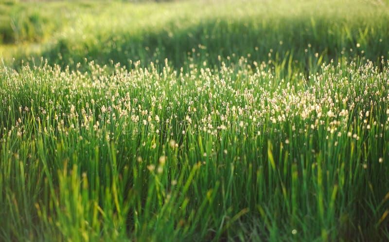 Champ d'herbe lumineux de ressort avec le fond de bokeh de lumière du soleil photos libres de droits