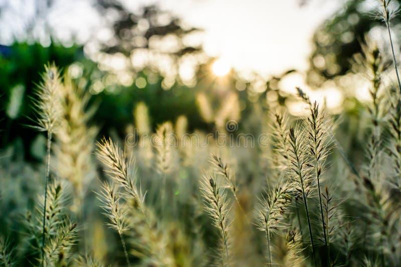 Champ d'herbe pendant le coucher du soleil photo libre de droits