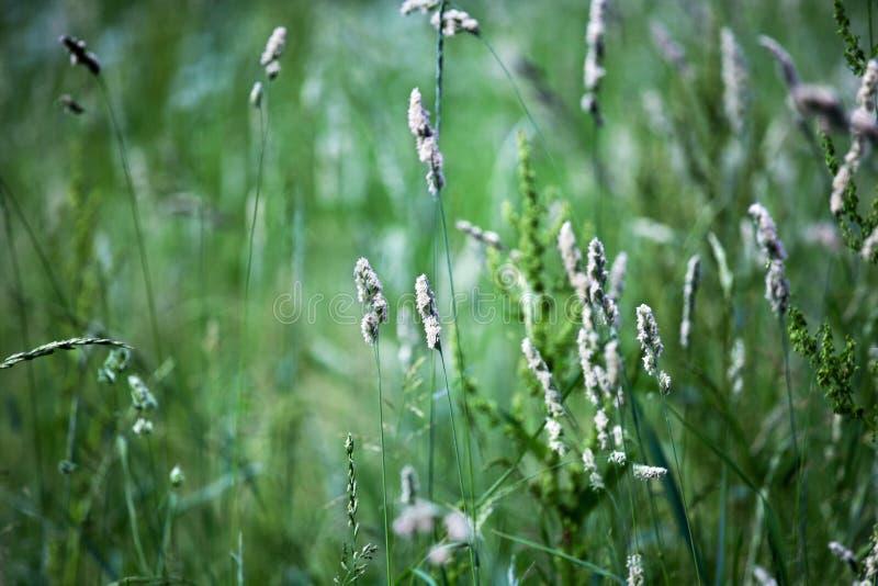 Champ d'herbe verte frais sur le fond brouillé de bokeh étroitement, oreilles sur le macro doux de foyer de pré, belle pelouse d' photo libre de droits