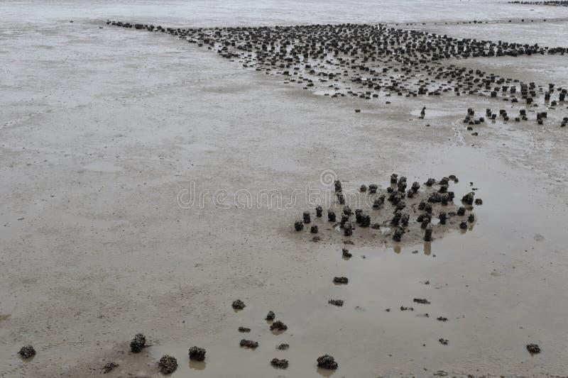 Champ d'huître sur le mudflat photos stock