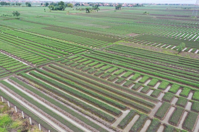 Champ d'oignon chez l'Indonésie image libre de droits