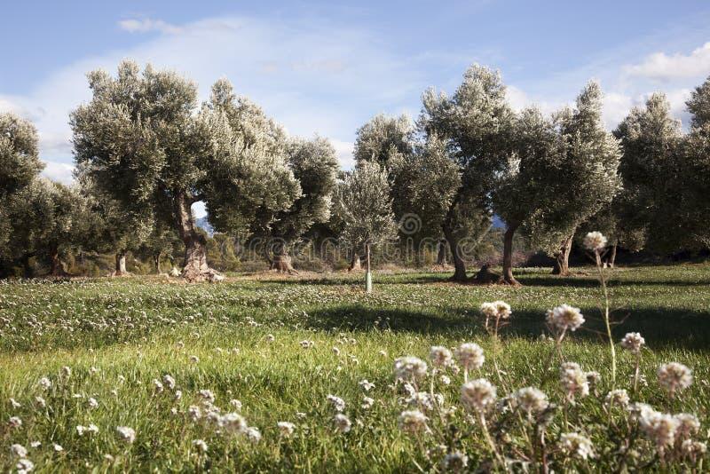 Champ d'olivier à Teruel photo libre de droits